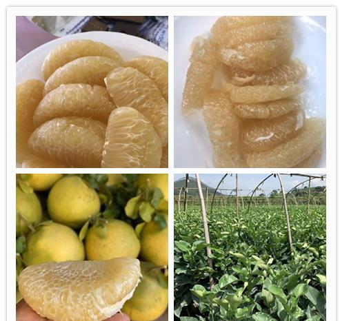 青柚苗 泰国蜂蜜柚子苗 泰国蜂蜜蜜柚苗扶贫办采购点