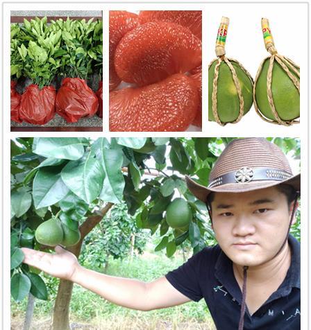 红宝石青柚苗 泰国青皮红肉柚苗 红宝石青柚苗成活率高