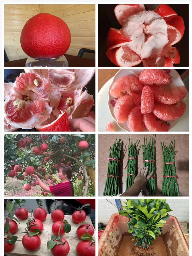 红心南瓜柚子苗种植技术管理