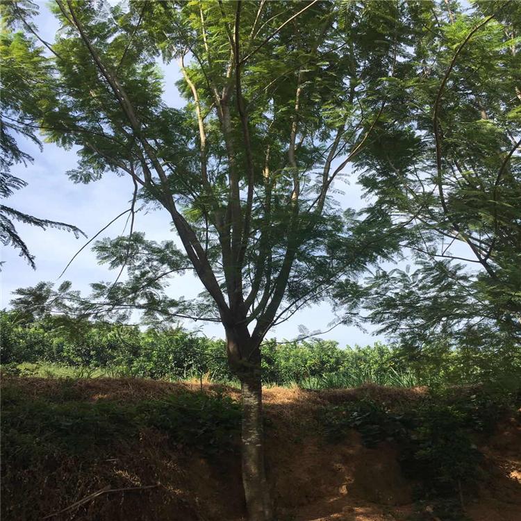 蓝花楹树苗 平和精品蓝花楹树苗基地供应 品种多样