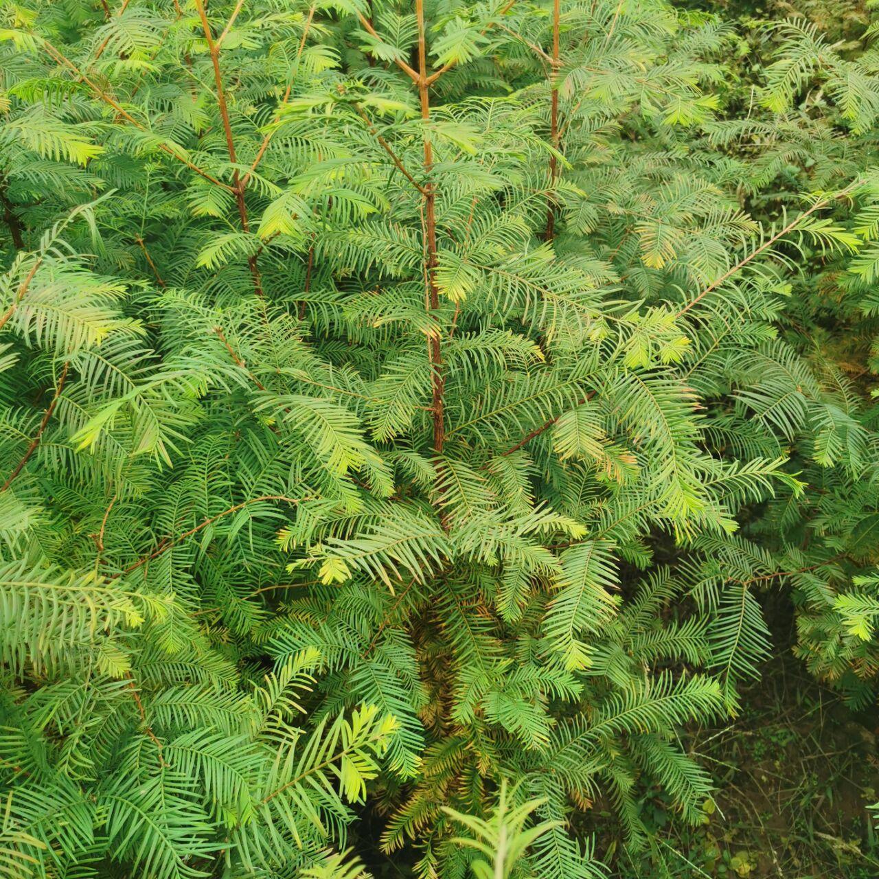柳杉树 湖北柳杉树苗种植