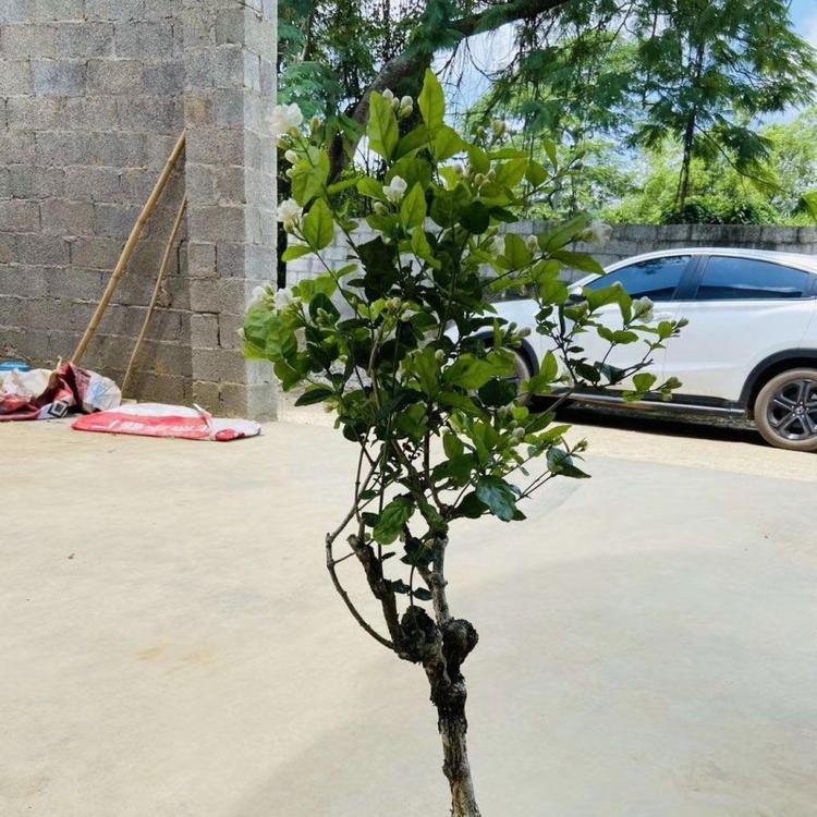 室内盆栽苗 景观茉莉成活率高