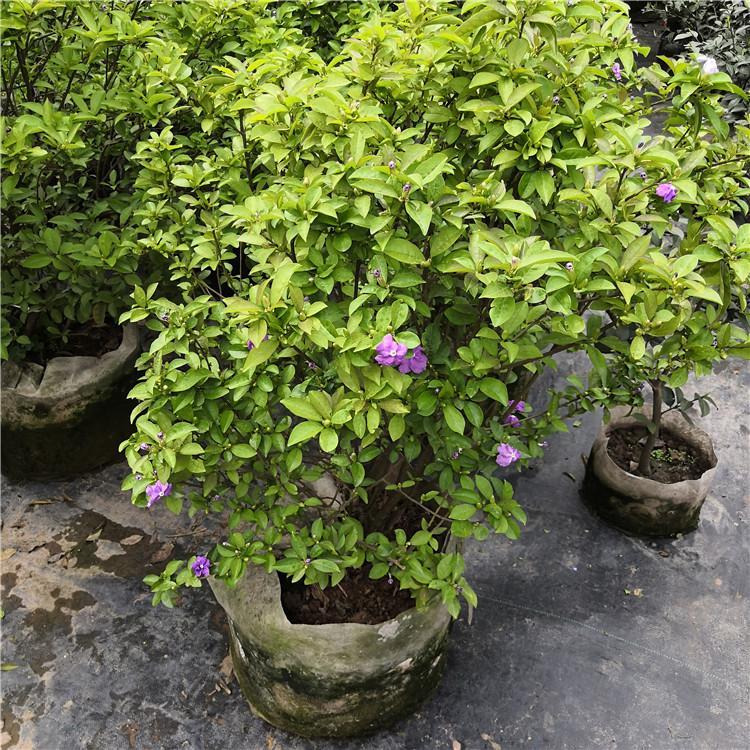 双色茉莉基地 客厅绿植盆栽成活率高