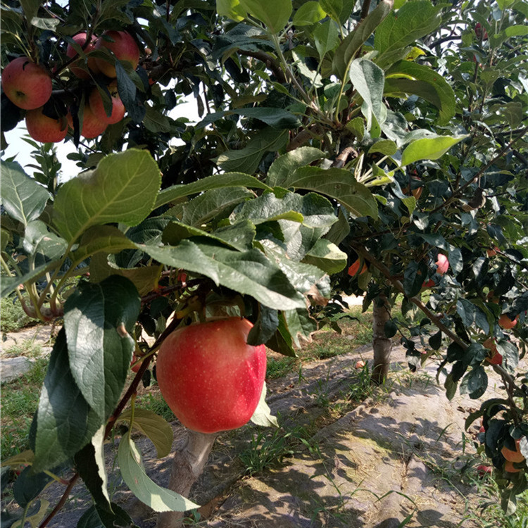 苹果苗供应 贵州现货苹果苗 常年批发