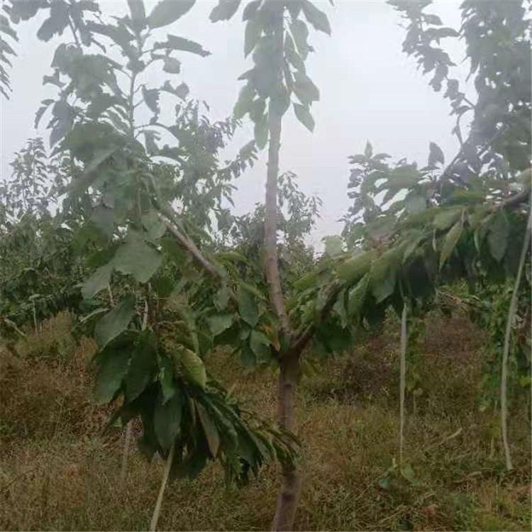 樱桃苗价格 泰州新品种樱桃苗根系发达