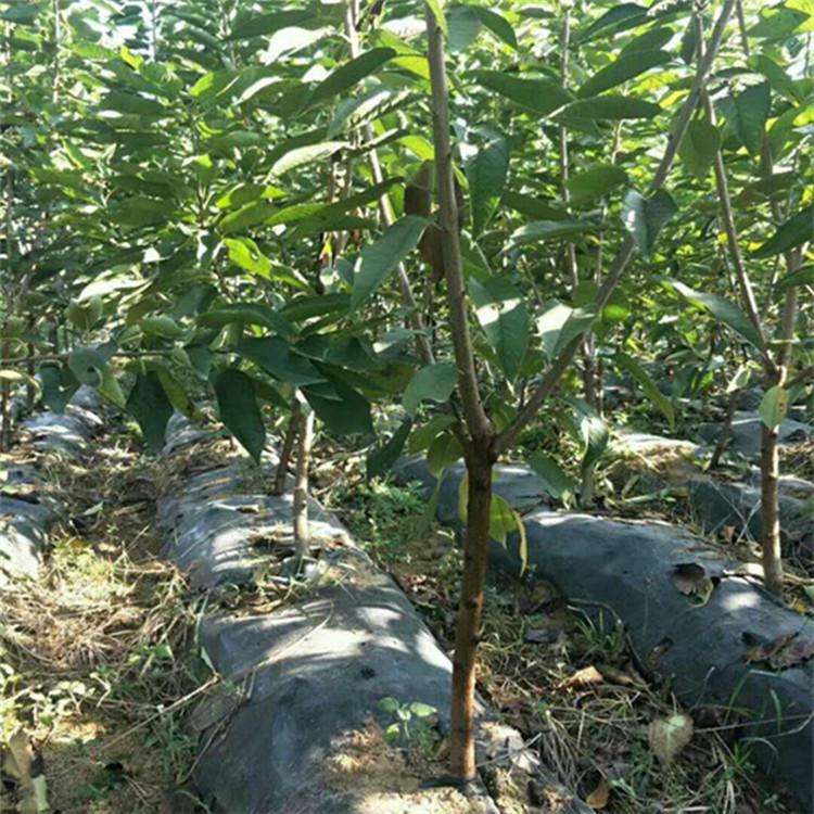 樱桃苗供应 漯河苗圃出售樱桃苗结果早