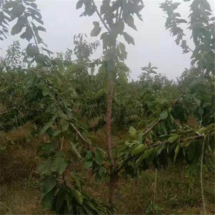 拉宾斯樱桃苗 盐城新品种樱桃苗出售