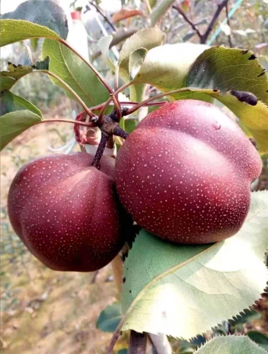 梨树苗的种植 红花梨树苗供应