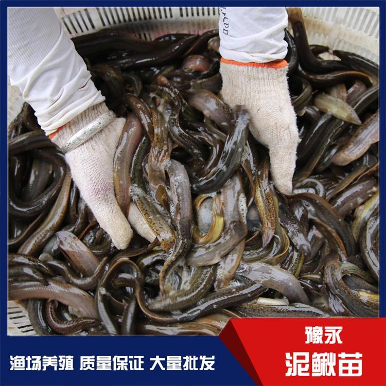 河北台湾泥鳅鱼苗 泥鳅苗养殖水产供应