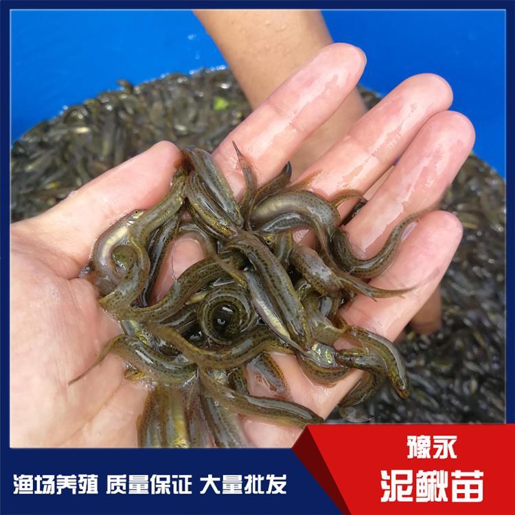 安徽台湾泥鳅鱼苗 泥鳅苗繁育正规批发商