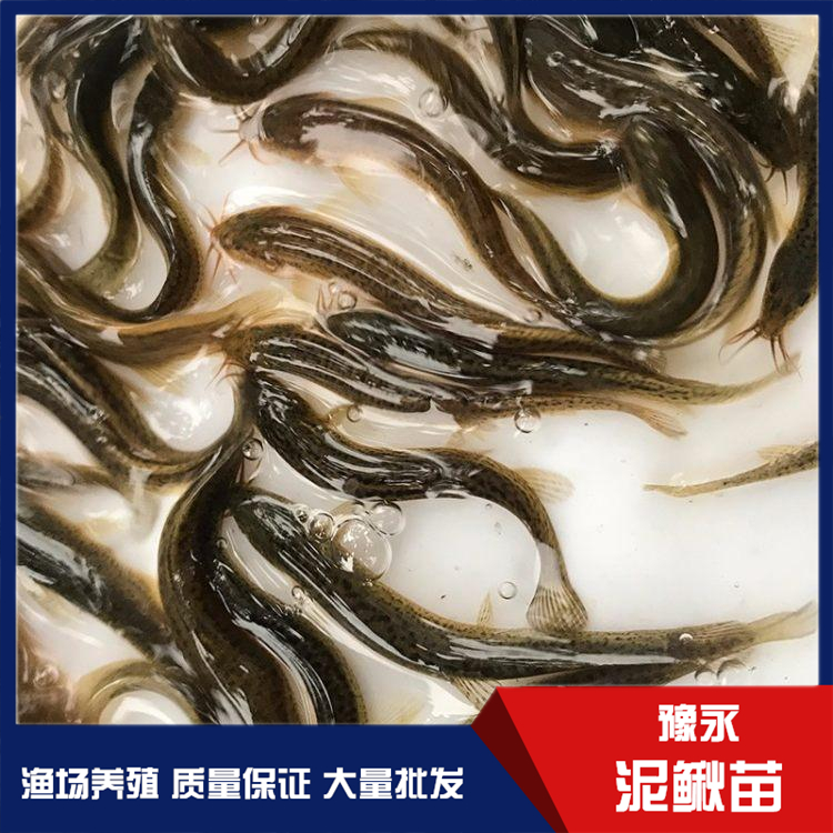 江苏台湾泥鳅鱼苗 泥鳅养殖正规批发商