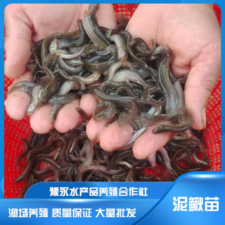 江苏台湾泥鳅鱼苗 泥鳅苗养殖价格低