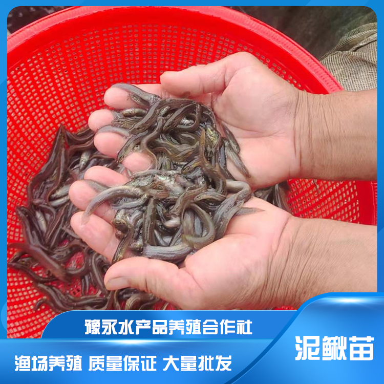 湖北泥鳅寸苗 泥鳅苗繁殖厂家供应