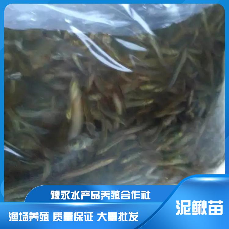 陕西水花苗泥鳅 泥鳅苗养殖基地水产销售