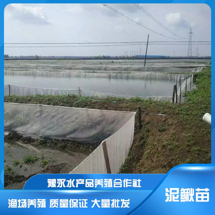 山西大量泥鳅苗 泥鳅养殖存活高