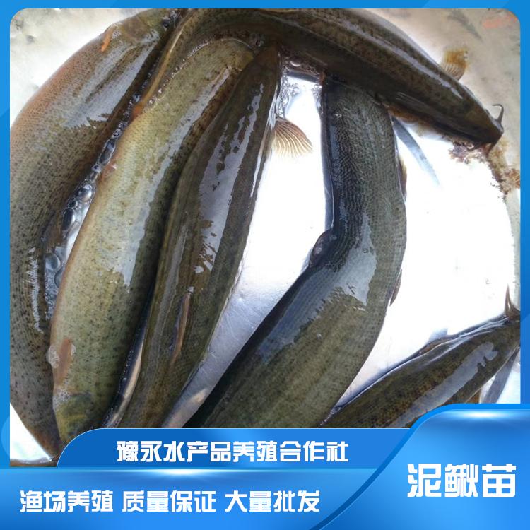 山东耐运输泥鳅鱼苗 泥鳅苗繁殖厂家出售