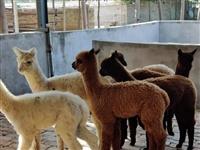 南宁市买羊驼到骏业羊驼养殖基地