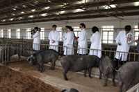 优质杜洛克公猪优惠出售,买十头送公猪,童叟无欺,信誉第一,欢迎来电
