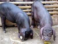 优质杜洛克公猪优惠出售,买二十头送两头,童叟无欺,信誉第一,买到就是赚到