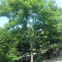 兰花楹树价格  销售兰花楹批发商