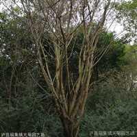 黄果树价格  风景树树苗经销商